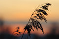 Silhouette Of Reeds At Sunset Royalty Free Stock Photography - 36823927