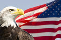 Bald Eagle Royalty Free Stock Photography - 36837237