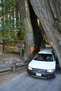 Famous Attraction- Drive Through Tree Royalty Free Stock Photography - 36845977