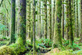 Cedar Trees Deep Forest Green Moss Covered Growth Hoh Rainforest Royalty Free Stock Photo - 36860815