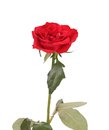 Close Up Of Red Rose. Royalty Free Stock Photography - 36861027