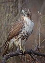 Red-tailed Hawk Stock Image - 36895861