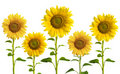 Yellow Sunflowers Royalty Free Stock Photography - 3697427