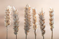 Fresh Ears Of Wheat Royalty Free Stock Images - 36901329