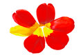 Red Tulip Petals With One Yellow Petal In Shape Of A Flower Stock Image - 36901841