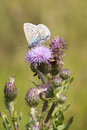Common Blue Butterfly (Polyommatus Icarus) Stock Images - 36912204