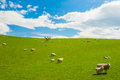 Sheep In The New Zealand Royalty Free Stock Images - 36924599