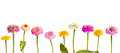Zinnia In A Row Stock Images - 36942334