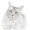 White Kitten Cat Stock Images - 36993174