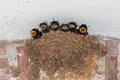Barn Swallow Nest With Chicks Stock Photos - 36995103