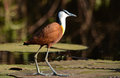 African Jacana Royalty Free Stock Photos - 37043218
