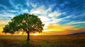 Oak Tree Stock Images - 37045894