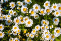 Camomile Royalty Free Stock Image - 37058866