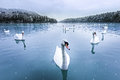 Swans, Snow, Lake, Winter Stock Photography - 37063492