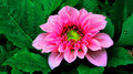 Pink Dahlia Flower Royalty Free Stock Photo - 37088435