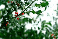 Snow Covered Holly Bush Royalty Free Stock Image - 3716546