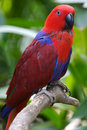 Eclectus Parrot Stock Photography - 3717302
