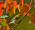 Black-throated Green Warbler Royalty Free Stock Photography - 37119287