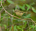 Ruby-crowned Kinglet Royalty Free Stock Photography - 37121497