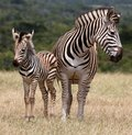 Baby Zebra And Mother Stock Photos - 37135933