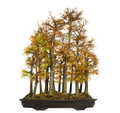 Golden Larch Bonsai Tree, Pseudolarix Amabilis, Isolated Royalty Free Stock Image - 37141146
