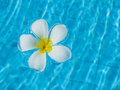 Frangipani Flowers In The Swimming Pool Stock Images - 37154444