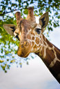 Giraffe Head Royalty Free Stock Photography - 37159557