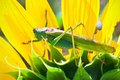 Grasshopper Royalty Free Stock Photography - 37161777