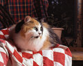 Calico Cat On A Blanket Royalty Free Stock Photo - 37178625