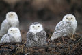Snowy Owl Stock Images - 37192374