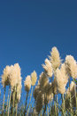 Pampas Grass Royalty Free Stock Photography - 3722777