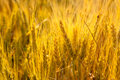 Wheat Spikes In Golden Field With Cereal Stock Photography - 37207242