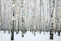 Winter Birch Forest Stock Image - 37219771