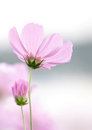 Cosmos Flowers Royalty Free Stock Photo - 37220615