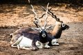 Indian Black Buck Antelope Stock Images - 37231314