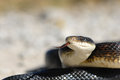 Adult Black Rat Snake Stock Photo - 37241510