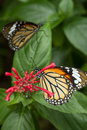 Closeup Of Two Common Tiger Butterflies Stock Photos - 37244553