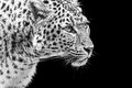 Portrait Of Amur Leopard In Black And White Stock Image - 37246281