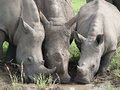 Three Rhino Drinking From A Puddle Royalty Free Stock Photography - 37247197