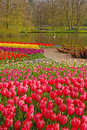 Pink Tulip With Colourful Tulips In Different Rows Behind In Keukenhof Stock Photo - 37258790