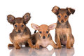 Three Adorable Russian Toy Terrier Puppies Royalty Free Stock Image - 37263936