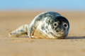 Seal Pup Stock Images - 37273004