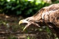 Golden Eagle Close Up Royalty Free Stock Image - 37348166