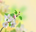 Closeup Of Apple Blossoms Over Nature Background Stock Photos - 37368653