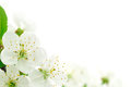 Cherry Flower Royalty Free Stock Images - 37378889