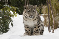 Snow Leopard Cub On Snow With Trees Royalty Free Stock Photos - 37393908