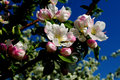 Apple Flowers Stock Photography - 37400382