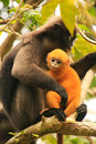 Spectacled Langur Sitting In A Tree With A Baby, Ang Thong Natio Royalty Free Stock Photography - 37410267