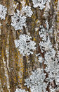 Tree Bark With Lichen Royalty Free Stock Images - 37414379