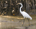 Great Egret Royalty Free Stock Photo - 37427565